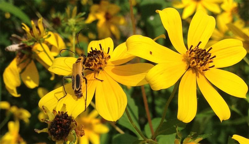 flowerbeetle