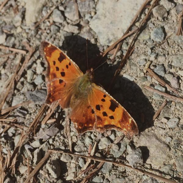 commabutterfly